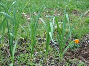 My Garlic growing