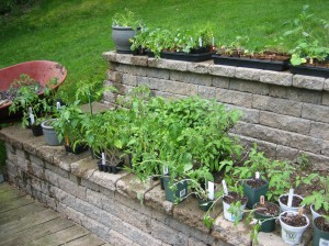 Some of the plants resting on my terraced walls in the back yard