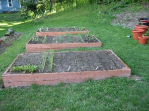 Raised beds taken yesterday - roots, onions and the fartherest is cabbage family