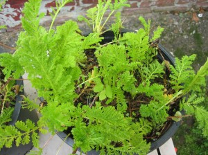 Tansy fresh from the nursery