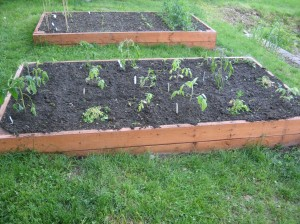 Last two beds - tomatoes and bean beds