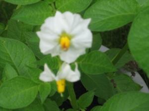 Beautiful Potato flower