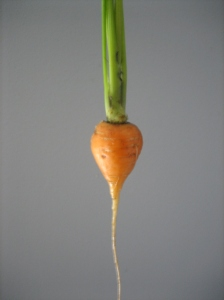 My first carrot