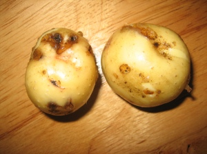 The first two potatoes I found