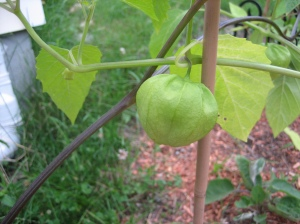 Growing tomatillo