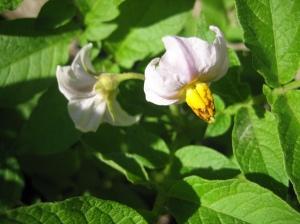 A light lavender potato flower