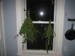 Herbs hanging in window